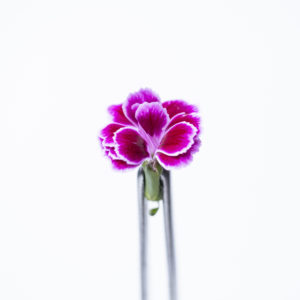 DIANTHUS PURPLE